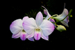 Dendrobium (Dendrobium Exapol × Dendrobium Melanie Penfield)