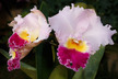 x Laeliocattleya grex Flor Cautiva