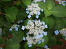 Hydrangea macrophylla var. normalis - Bigleaf Hydrangea