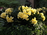 Clivia miniata 'Longwood Debutante' - Clivia