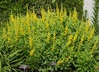 Baptisia sphaerocarpa 'Screamin' Yellow' - Wild-Indigo