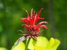 Monarda 'Jacob Cline' - Bee-Balm