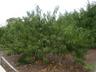 Prunus persica 'Redhaven' - Peach