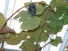 Vitis 'Concord' - American Grape