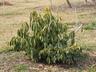 Illicium lanceolatum - Anise-Tree