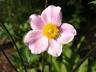Anemone tomentosa 'Robustissima' - Chinese Anemone