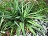 Yucca gloriosa var. recurvifolia - Curve-Leaf Yucca