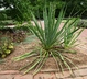 Yucca filamentosa - Adam's-Needle