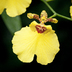 x Oncidesa grex Aloha Iwanaga
