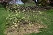 Ulmus glabra 'Camperdownii' - Scotch Elm