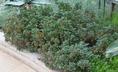 Pelargonium 'Tweedle Dee' - Pelargonium
