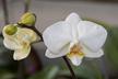 Phalaenopsis (Phalaenopsis Cassandra x Phalaenopsis Schneewittchen)