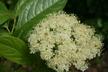 Viburnum nudum 'Winterthur' - Swamp-Haw