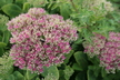 Hylotelephium spectabile 'Neon' - Showy Stonecrop