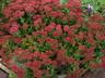 Hylotelephium spectabile 'Autumn Fire' - Showy Stonecrop