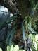 Anthurium vittariifolium - Anthurium