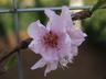 Prunus persica var. nucipersica 'Red Gold' - Nectarine
