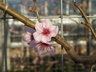 Prunus persica var. nucipersica 'New York' - Nectarine