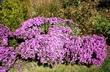 Symphyotrichum novae-angliae 'Purple Dome' - New England Aster