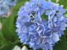 Hydrangea macrophylla 'Bailmer' [sold as Endless Summer (R)] (Hortensia Group) - Bigleaf Hydrangea