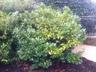 Prunus laurocerasus - Cherry-Laurel