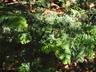 Chamaecyparis obtusa 'Gracilis Compacta' - Compact Hinoki False Cypress