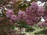 Prunus serrulata 'Kwanzan' - Kwanzan Cherry