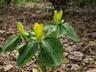 Trillium luteum - Yellow Trillium