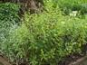 Phlox paniculata 'Delta Snow' - Perennial Phlox