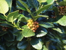 Ilex 'Conty' [sold as Liberty (TM)] - Hybrid Holly