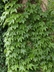 Parthenocissus tricuspidata 'Fenway Park' - Boston-Ivy