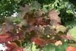 Hydrangea quercifolia 'Alice' - Oakleaf Hydrangea