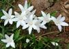 Chionodoxa luciliae 'Alba' - Glory-Of-The-Snow