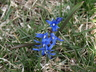 Chionodoxa sardensis - Glory-Of-The-Snow