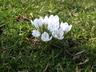 Crocus chrysanthus 'Ard Schenk' - Crocus