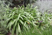 Agapanthus 'Ellamae' [sold as Royal Ama (TM)] - African-Lily