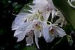 Dendrobium grex Roy Tokunaga