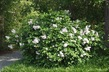 Syringa pubescens ssp. patula 'Miss Kim' - Hairy Lilac