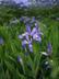 Iris cristata - Dwarf Crested Iris
