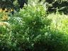 Hydrangea paniculata 'Tardiva' - Late Panicle Hydrangea