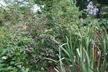Callicarpa bodinieri var. giraldii 'Profusion' - Beautyberry