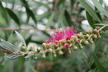 Callistemon 'Taree Pink' - Bottlebrush