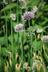 Allium tanguticum - Lavender-Globe-Lily
