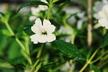 Mimulus bifidus 'Verity White' - Monkey-Flower