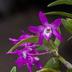 Dendrobium moniliforme 'Shuyo'