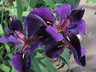 Iris 'Black Gamecock' - Louisiana Iris