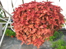 Solenostemon scutellarioides 'Copper' [sold as Stained Glassworks (TM)] (Stained Glassworks Group) - Coleus