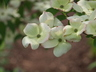Cornus 'KF1-1' [sold as Saturn (TM)] (Stellar Group) - Dogwood