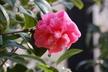 Camellia japonica 'Olive Barrett' - Japanese Camellia