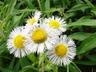 Erigeron philadelphicus - Common Fleabane Philadelphia Fleabane